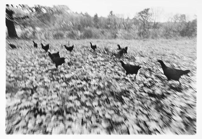 Chickens, 1973